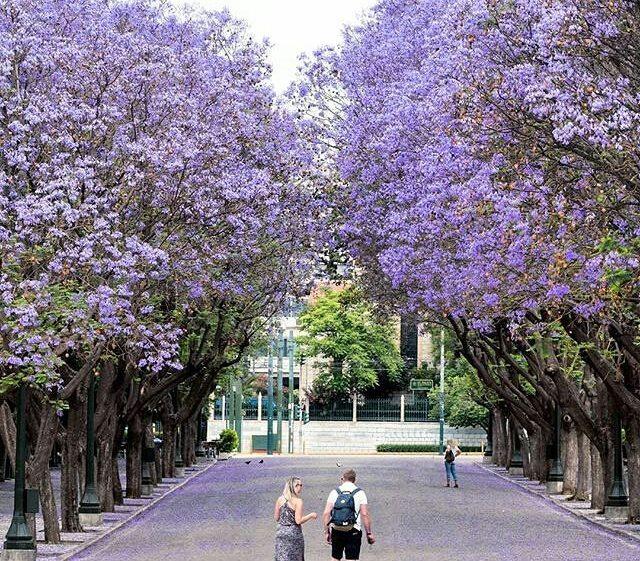 Цветущие фиалковые деревья