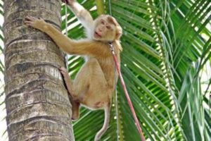 С момента основания в Центре дрессируют только одну разновидность обезьян – помощников для местных фермеров.