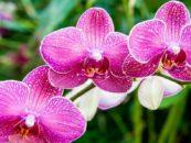 Ферма орхидей Сирипхон (Siriphon Orchid Farm)