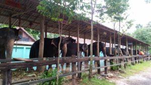 При посещении фермы разрешается трогать слонов и кормить их бананами, а кроме этого, животные показывают различные трюки. Большой популярностью пользуются двухчасовые прогулки на слонах, когда погонщик ведет их через джунгли.