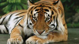 Экологический зоопарк Королевство тигров (Tiger Kingdom Phuket) находится в районе Кату поблизости от Патонга