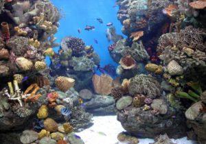 Резервуар коралловых рифов позволяет рассмотреть кораллы, растения и морские существа, которые их населяют
