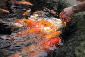 Для детей особенно интересны шоу с кормлением рыб и других морских жителей