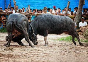 Вьетнамский бой быков – практически традиционная коррида, но с восточным колоритом: жители побережья таким образом почитают Бога Вод.