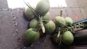 На этом побережье под пальмами всегда можно найти кокосовые орехи.