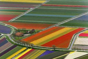 Разноцветные тюльпановые поля